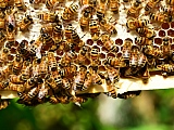 Ako primijetite rojeve pčela, ove brojeve možete nazvati!